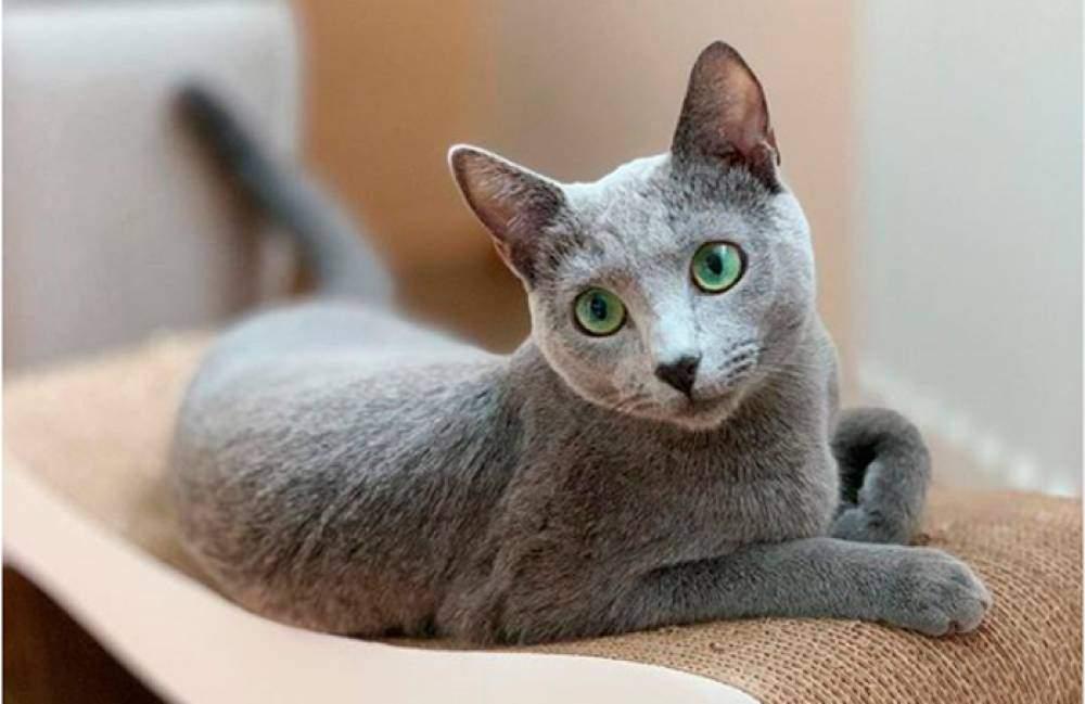 Витончені коти із зеленими очима