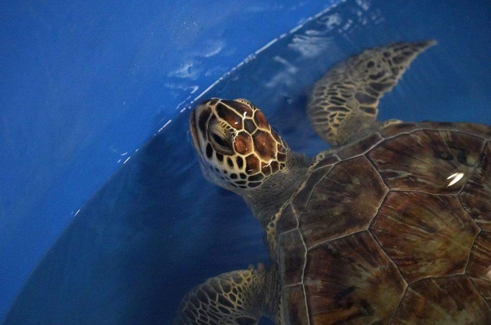 Черепах будут лечить в течение недели или двух