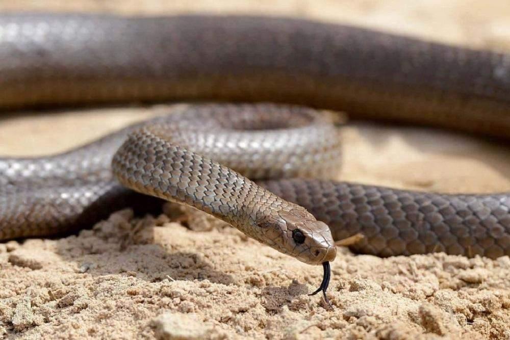 Эта разновидность змей чрезвычайно опасна