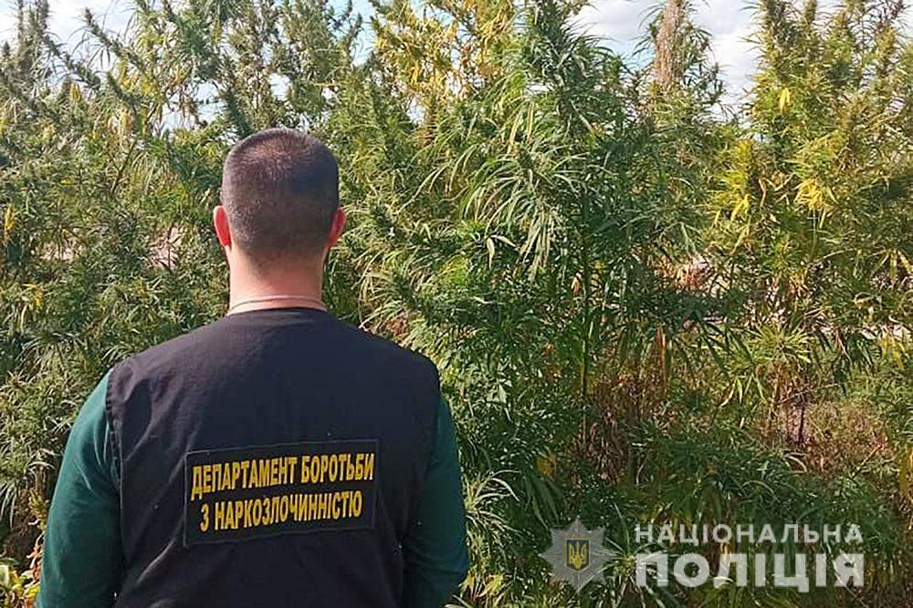 Бориспіль, поле з коноплями, поліція знищила плантацію