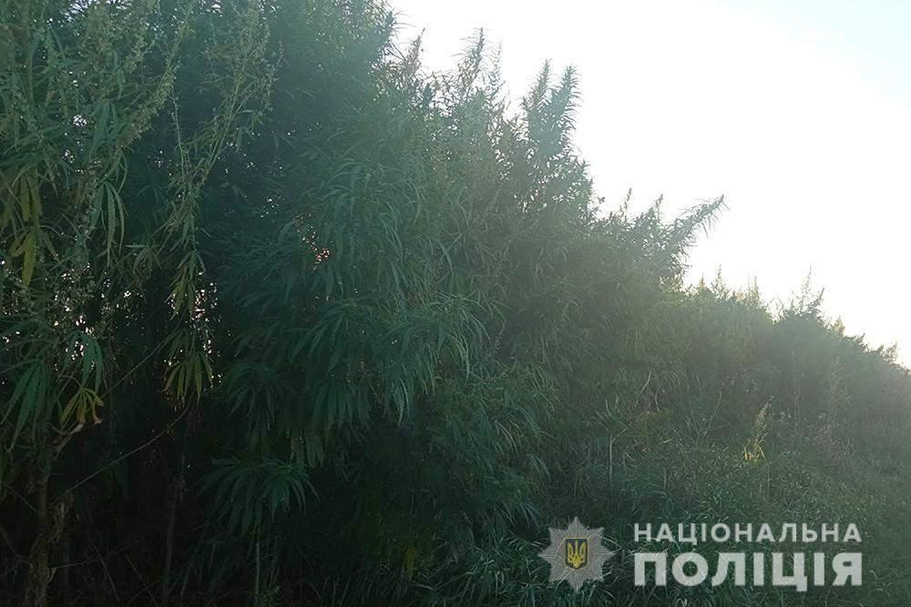 Вовчків, плантація коноплі під Борисполем, наркоторгівля