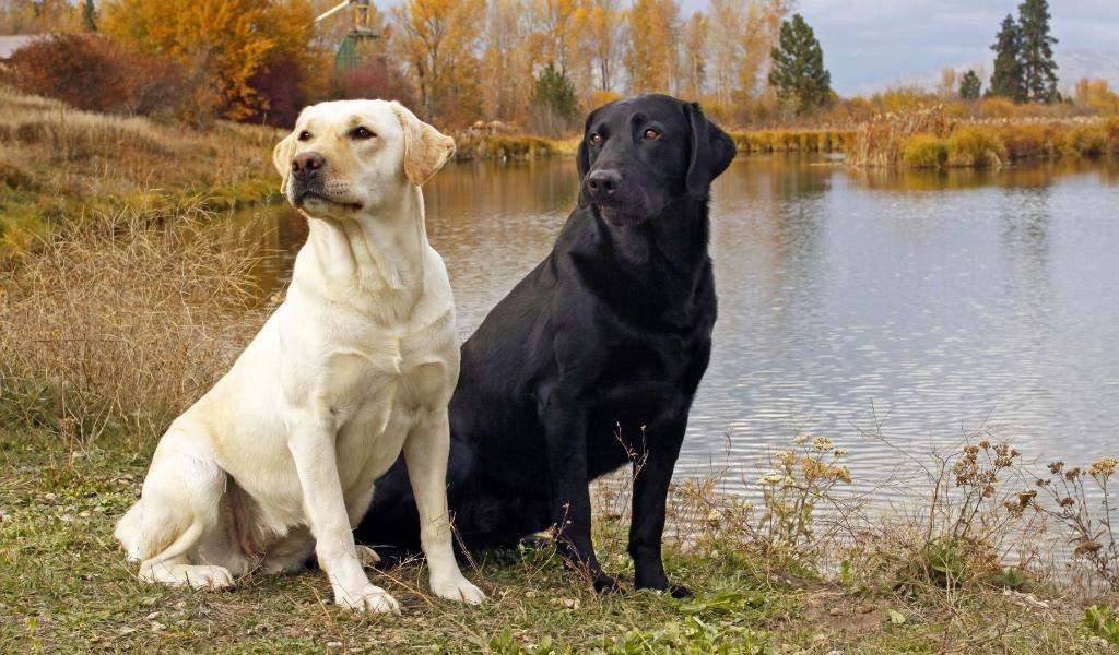 Лабрадоры – выносливые собаки, у которых много энергии