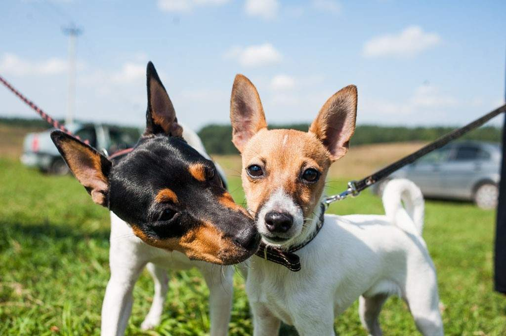 Це чудові собаки-компаньйони / Фото Hidogs
