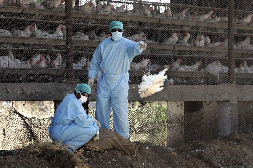 В Індії перевіряють дані щодо ймовірного спалаху пташиного грипу
