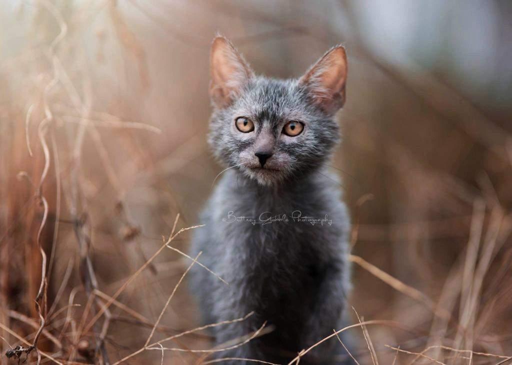 Ликой кіт