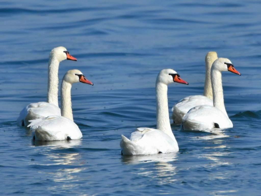 Лебеди могут весить до 23 килограммов