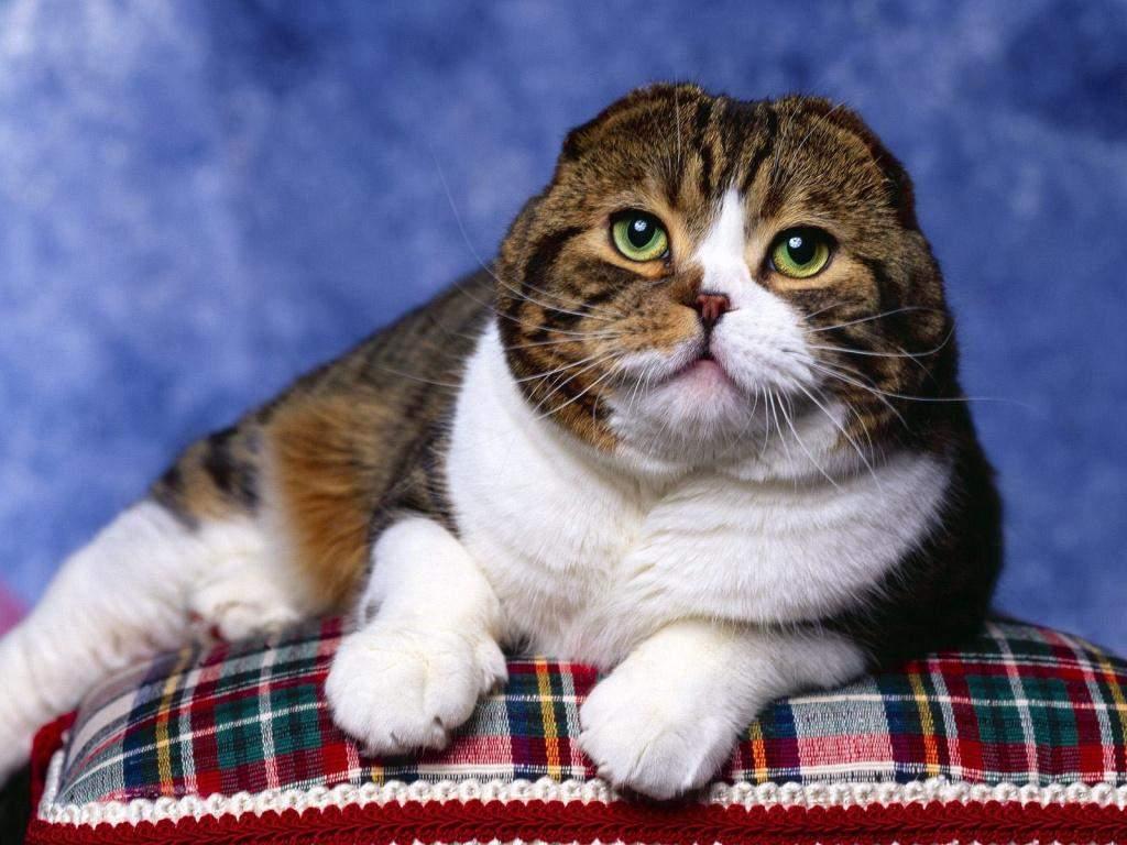 Вислоухие кошки могут иметь дефекты суставов