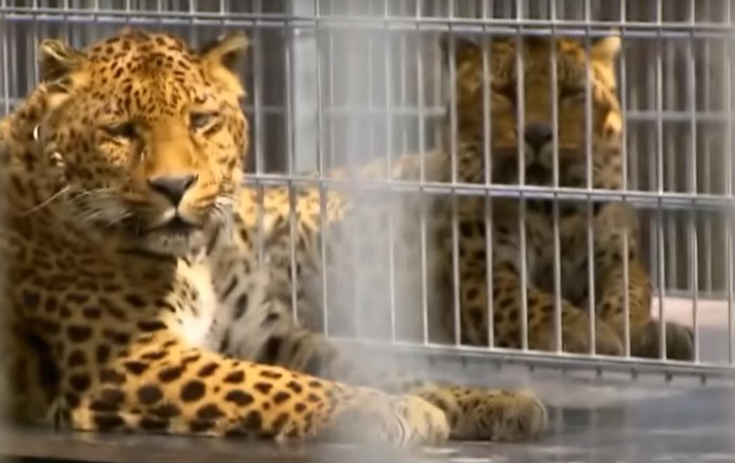Леопарди у пансіонаті для тварин-зірок