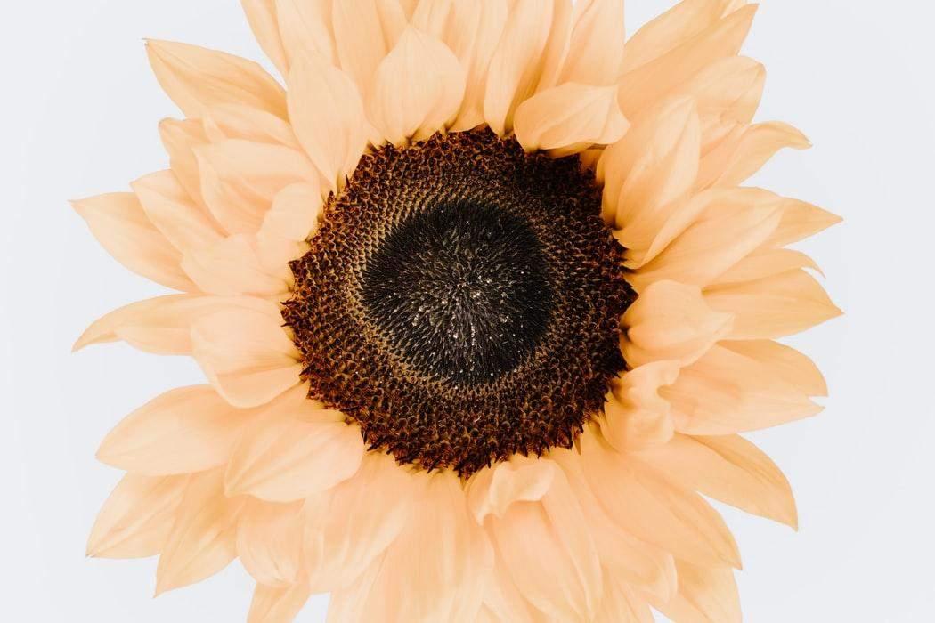 Насіння соняшника – джерело вітаміну Е