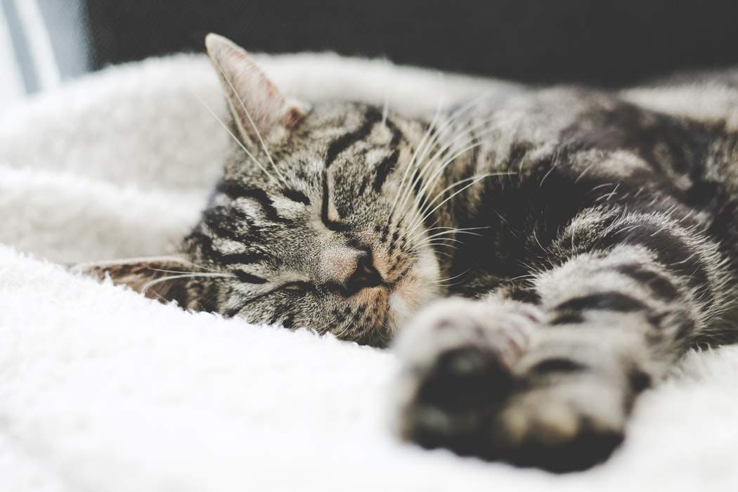 Чому кішки стали смугастими