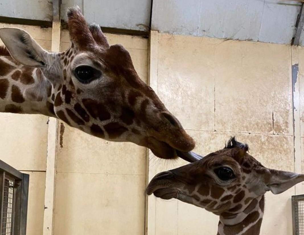 жирафеня, Англія