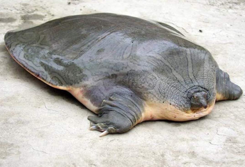 М'якотіла черепаха
