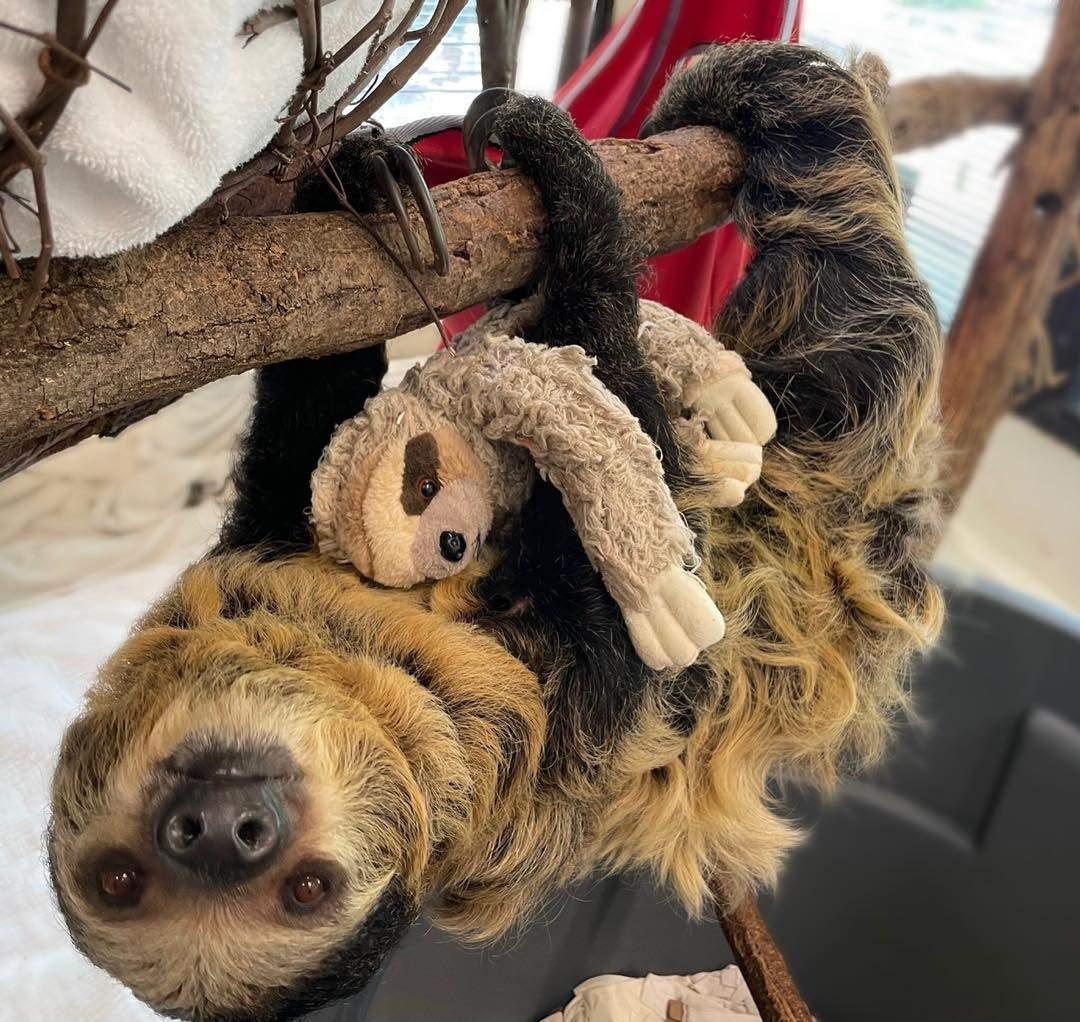 Вагітній лінивиці подарували м'яку іграшку: наймиліше фото дня