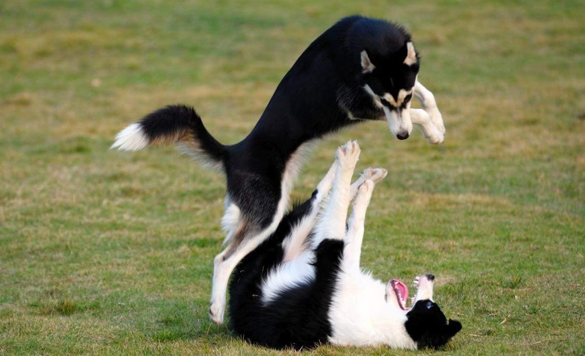 Можливо, поруч із власником собаки почувають себе в безпеці