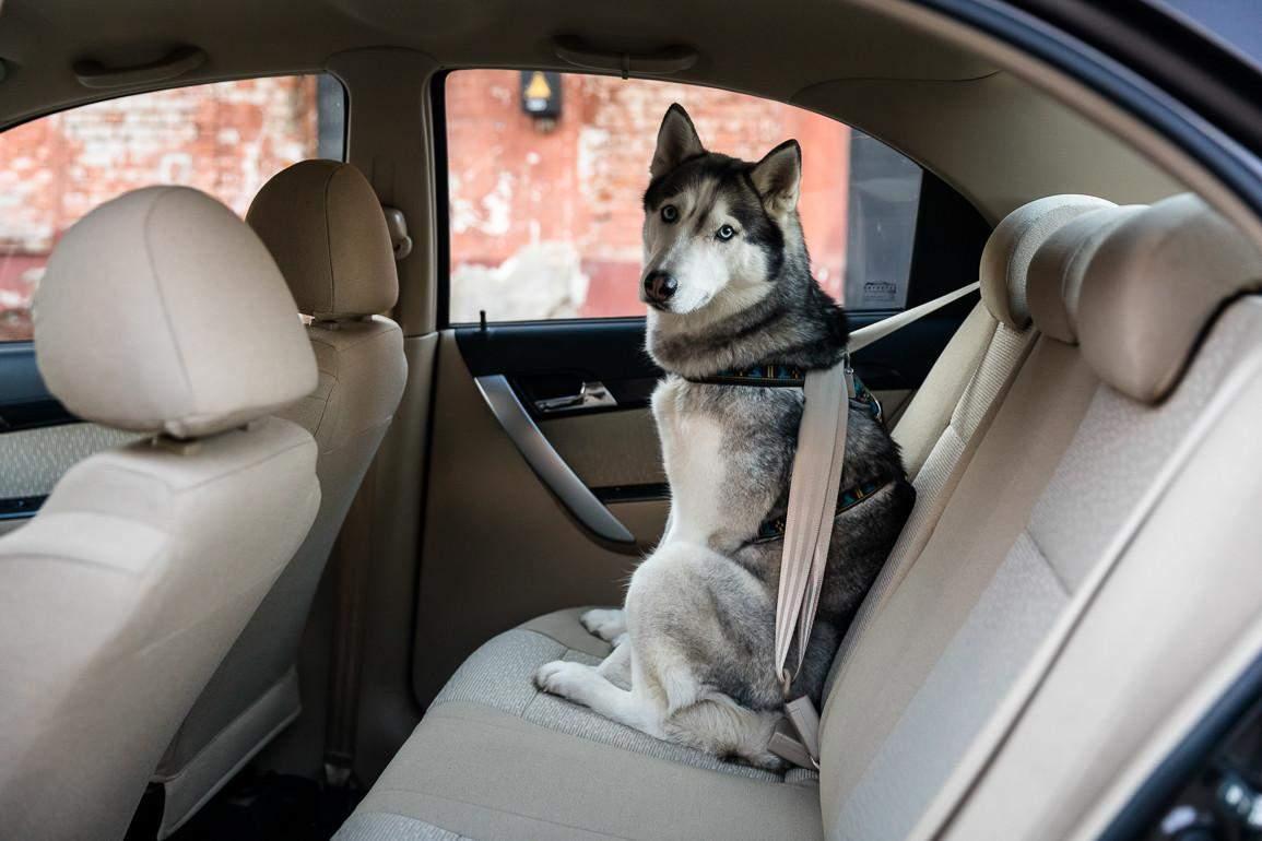 Собакам также нужны ремни безопасности