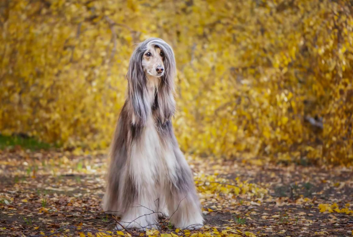Собака породи афганський хорт
