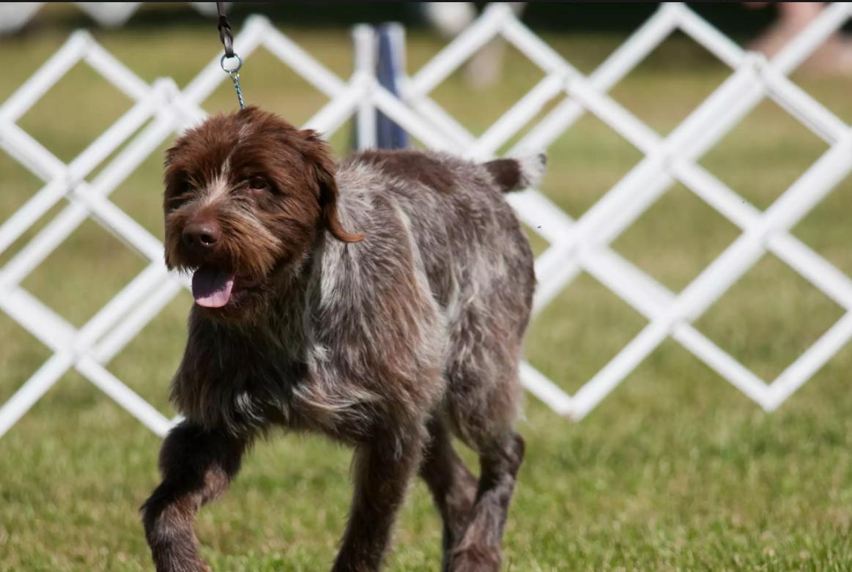 Собака породи французький жорсткошерстий пойнтер