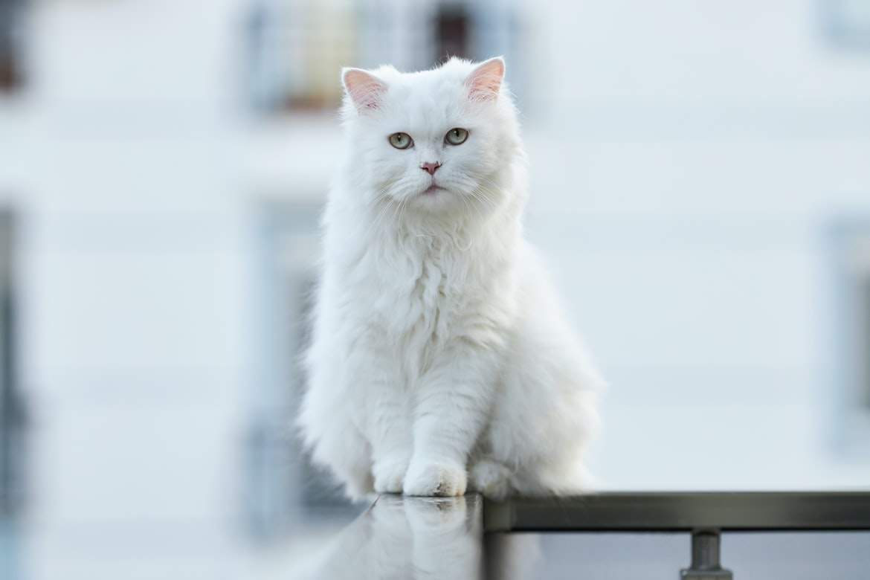 Цікаві факти про білих котів