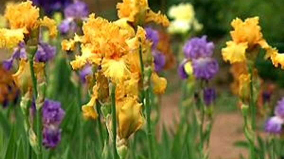 У Нікітському ботанічному саду розквітли іриси