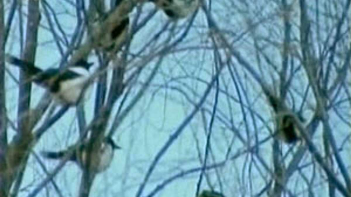 """Телебачення КНДР показало птахів, що """"оплакують"""" Кім Чен Іра"""