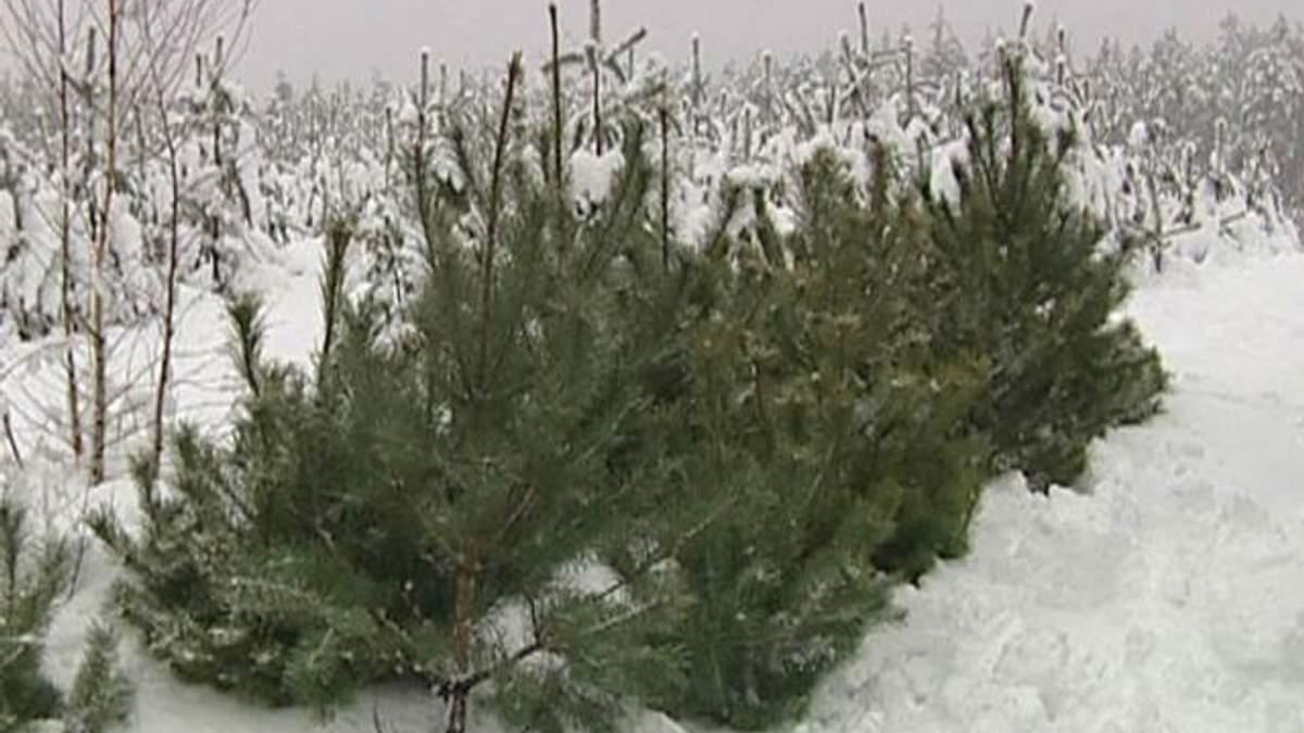 Ежегодно украинцы покупают все меньше живых елок