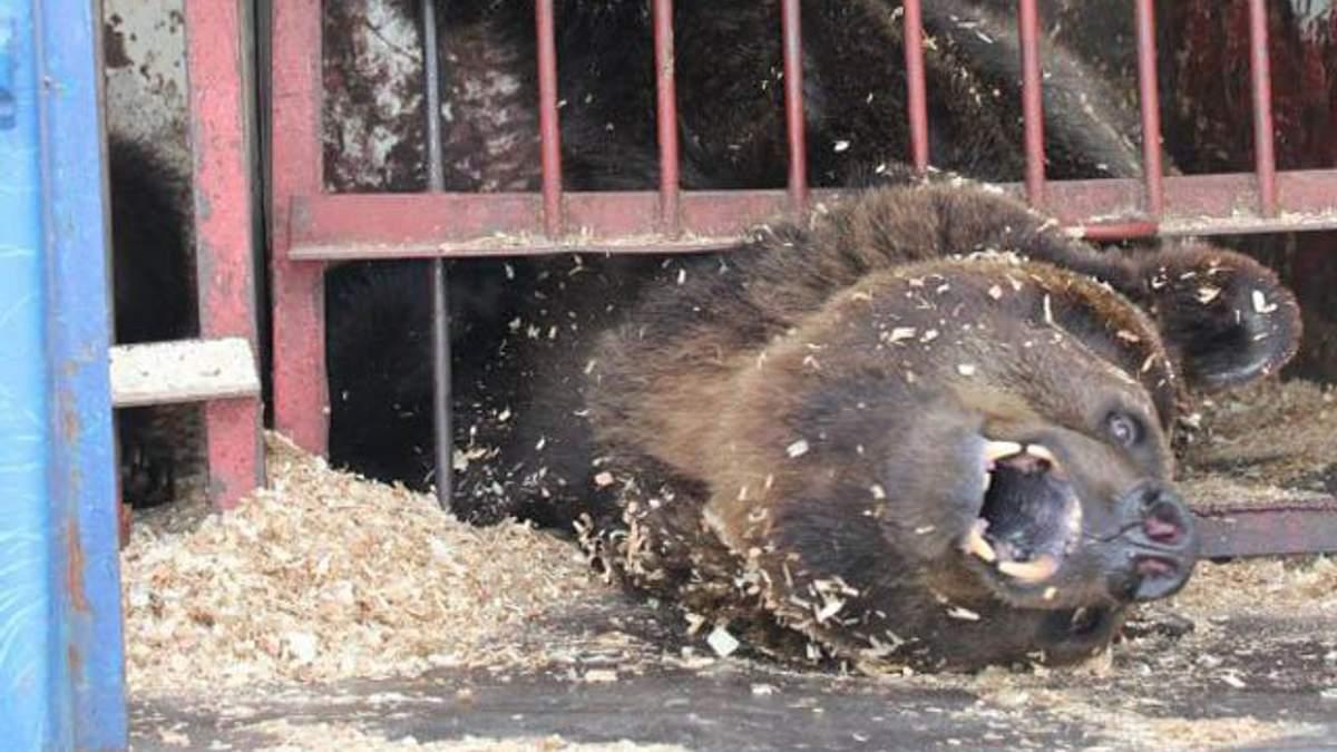 В цирке-шапито под Киевом издеваются над медведями