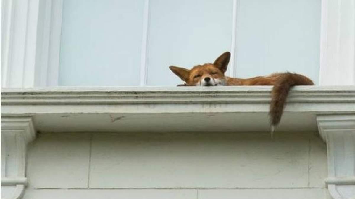 Лисиця на підвіконнику здивувала мережу