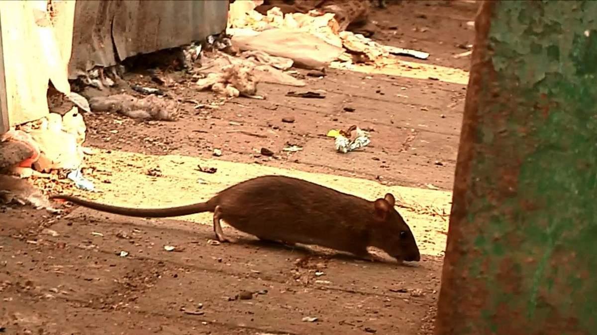 Агресивні щурі захопили мікрорайон у Івано-Франківську