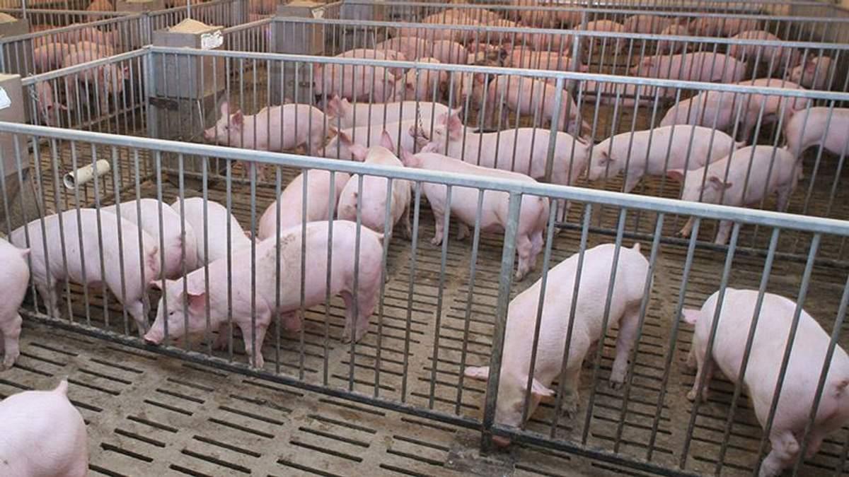Білорусь тимчасово відмовилась від української свинини