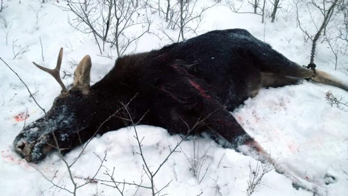 Волки, лоси и браконьеры, или Нет худшего зверя, чем человек
