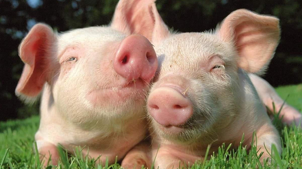 Свинина, которую экспортирують из России