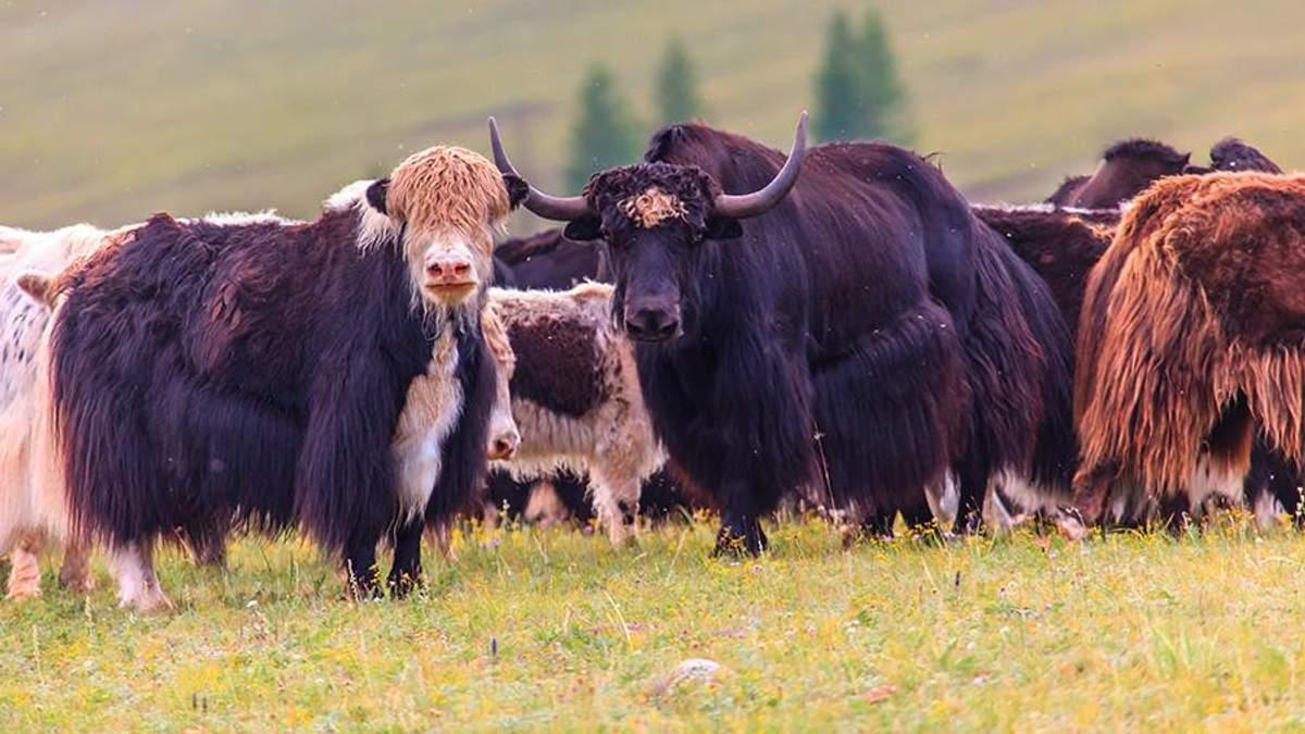 В Монголии праздновали традиционный фестиваль яков