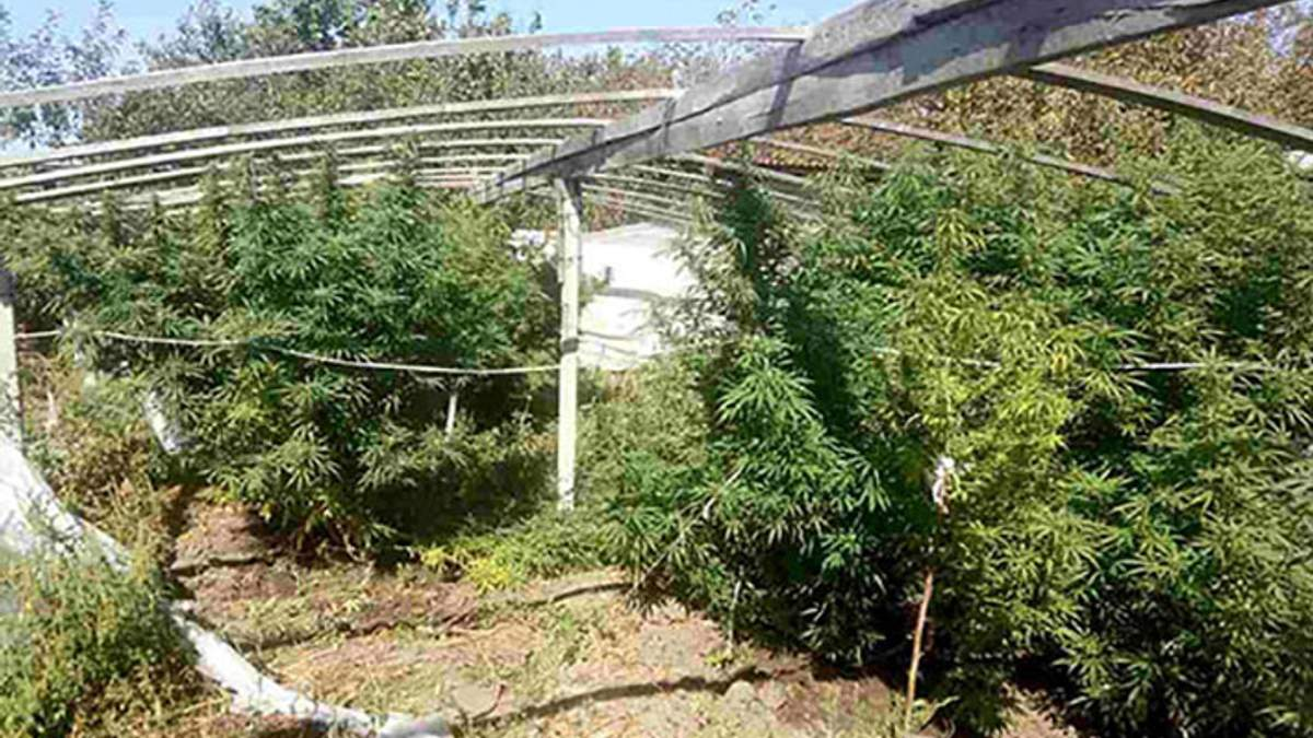 На Херсонщині поліцейські конфіскували конопель на півтора мільйона гривень