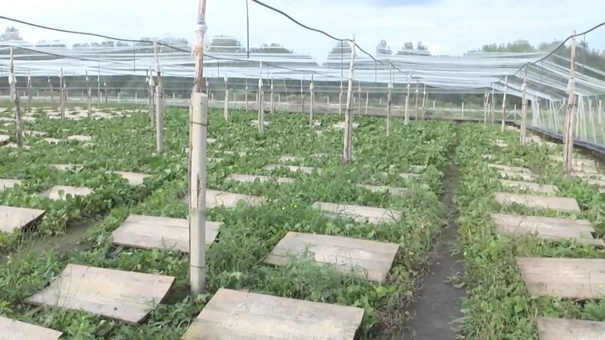 Тернопільський фермер вирощує французький делікатес: захопливі кадри