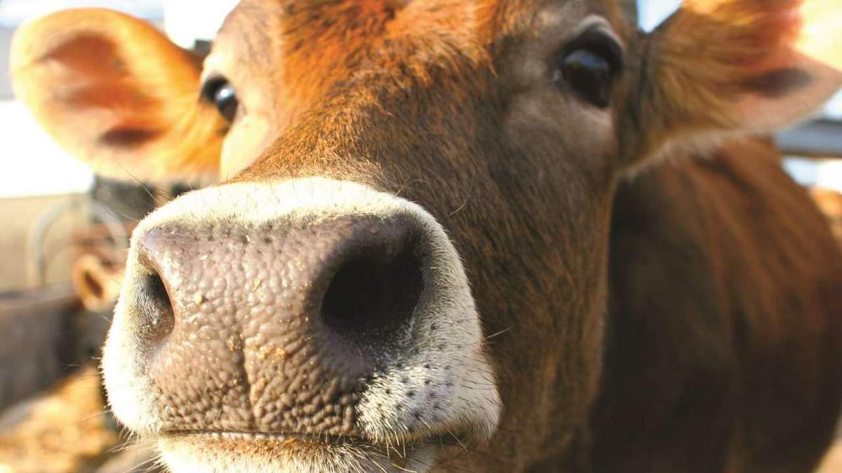 Через скажених корів до лікарні потрапили близько 15 людей