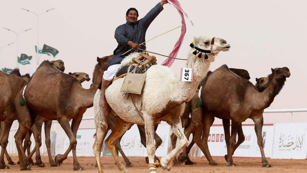 Конкурс краси серед верблюдиць