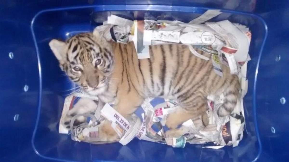 Мексиканська поліція виявила живе тигреня в посилці, яку хтось невідомий відправив у інший штат