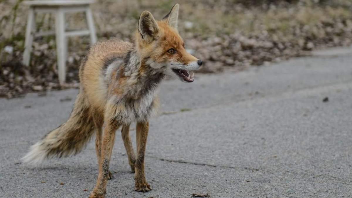 Чорнобильська фауна: подорож до зони відчуження в пошуках червонокнижних тварин