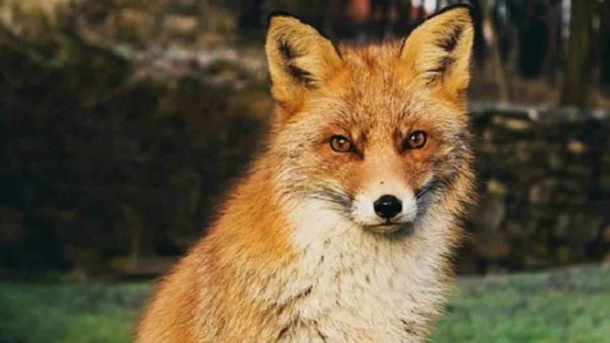 У Львові врятували лисицю, що впала в закинутий басейн: захопливе відео