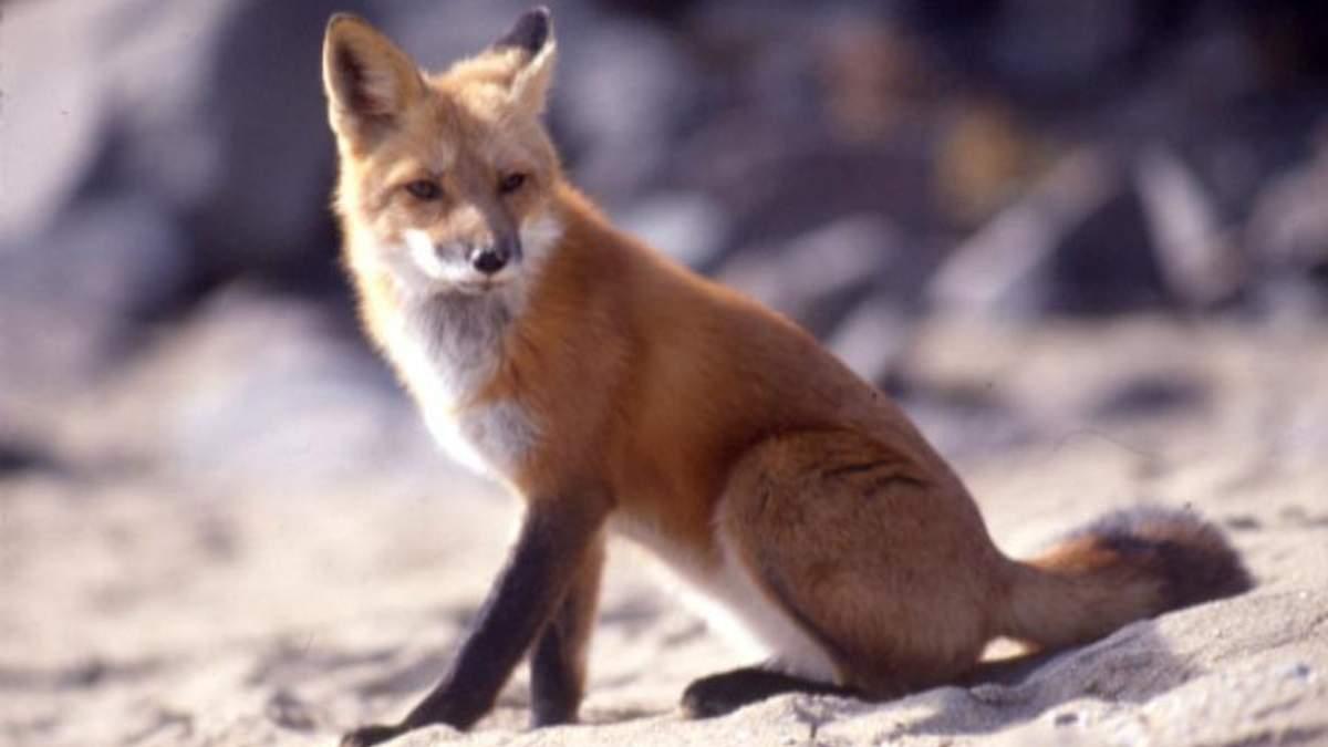У Харкові лисиця гуляла харківським передмістям