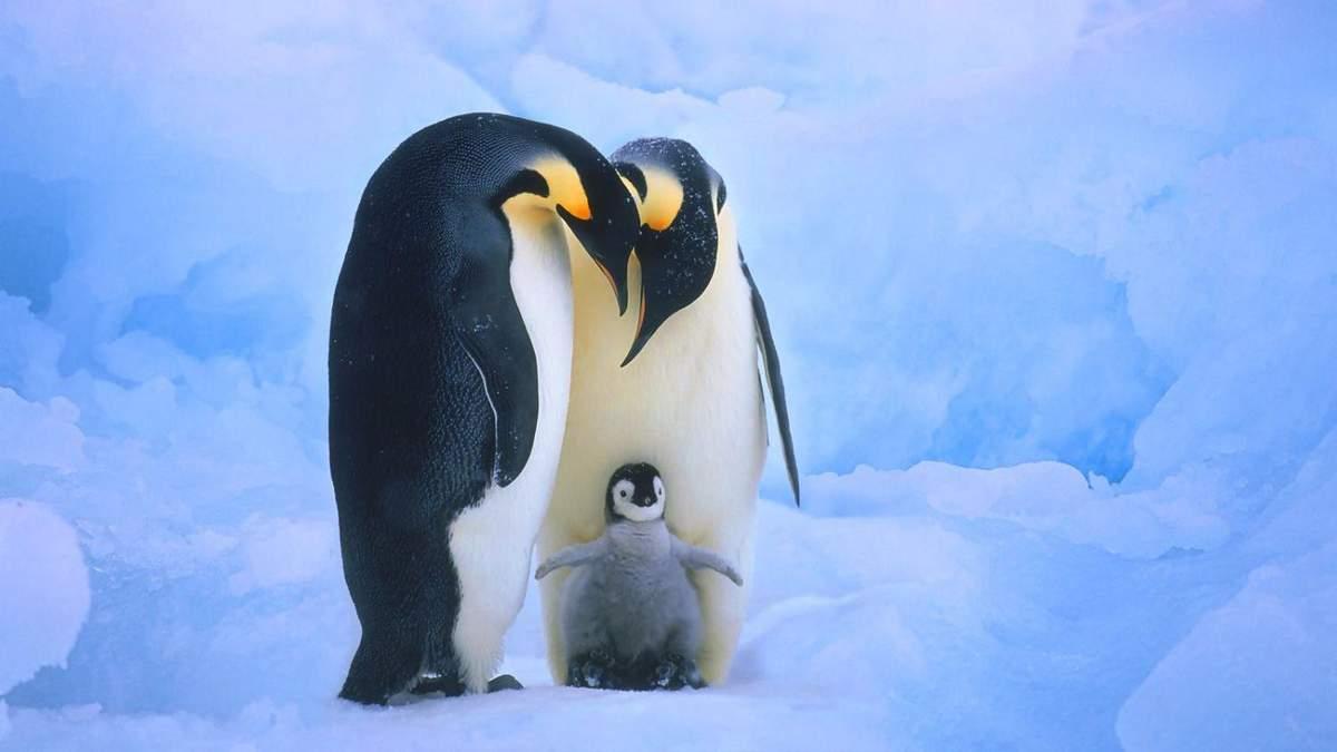 В датском зоопарке гей-пара пингвинов похитила детеныша в его гетеросексуальных родителей: видео