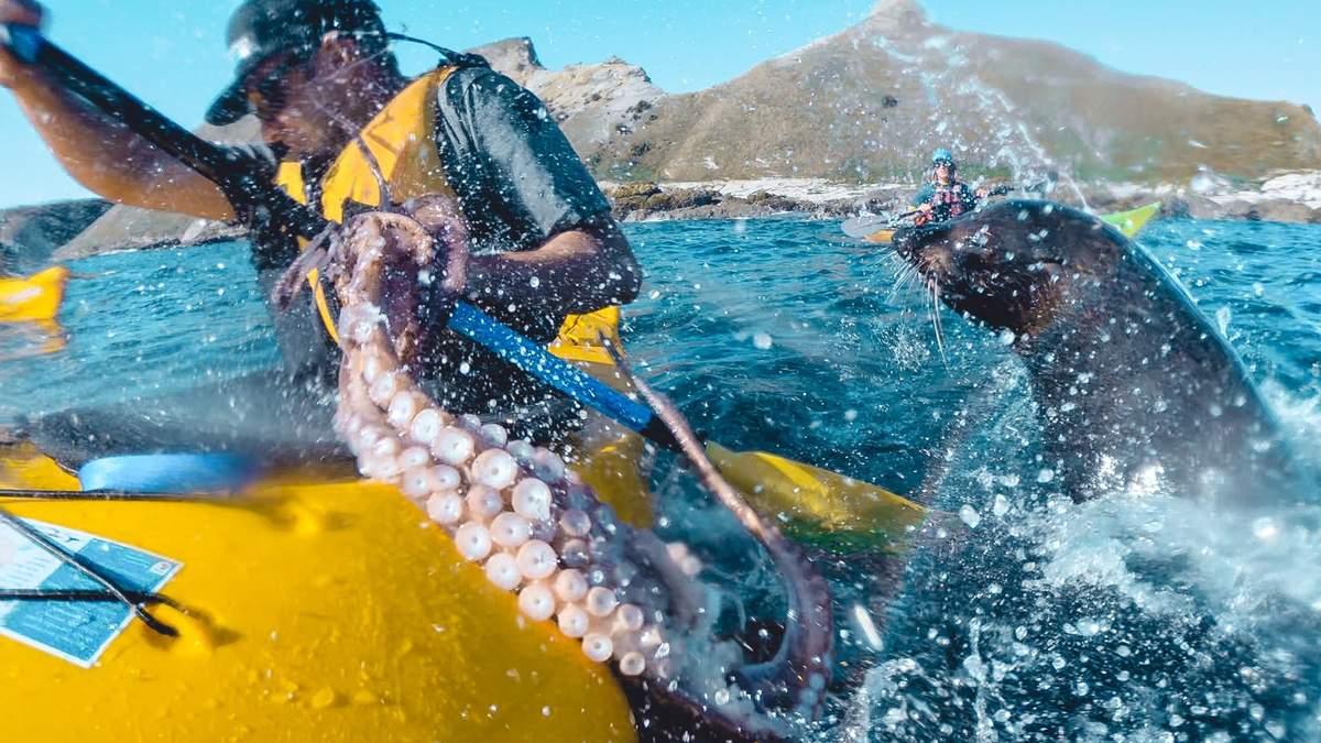 В Новой Зеландии морской котик ударил осьминогом спортсмена-каякера