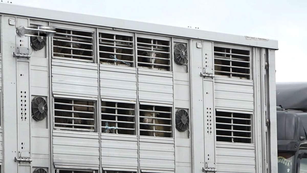 В порту Одесской области в грузовике без еды умирает около 300 овец: видео
