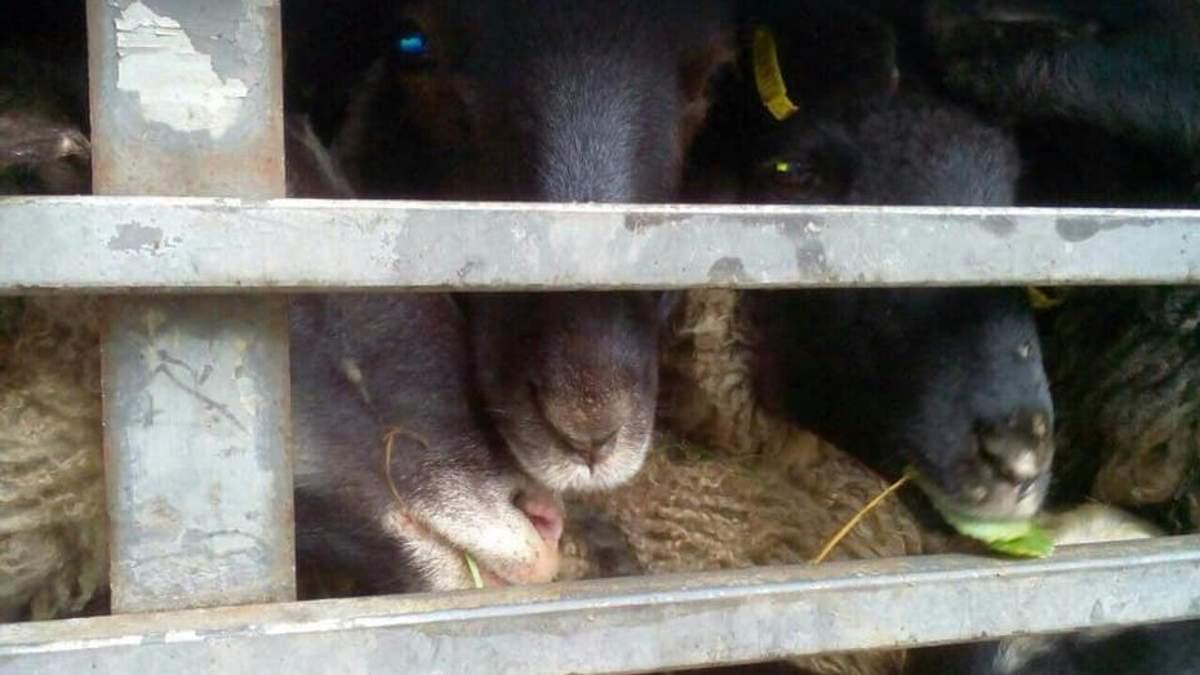 Фура с 300 умирающими овцами на Одещине: активисты не дают животных вывезти на уничтожение