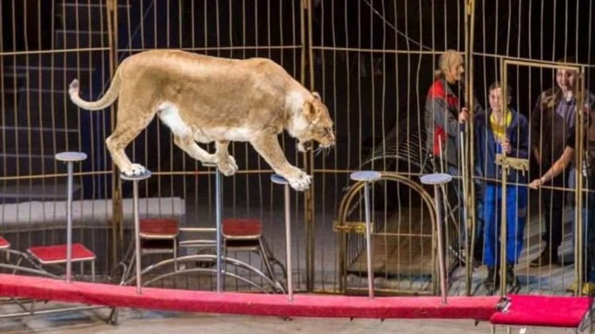 Левиця у цирку напала на дитину: опубліковане відео 18+