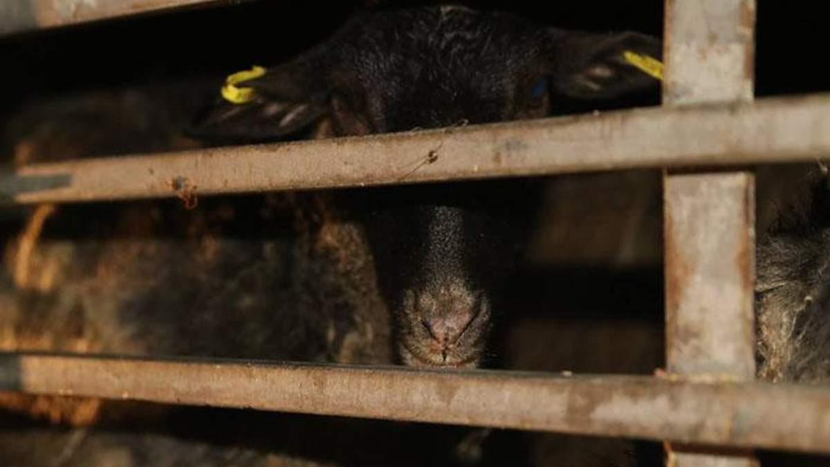 Врятовані вівці, яких тижнями морили голодом, продовжують гинути