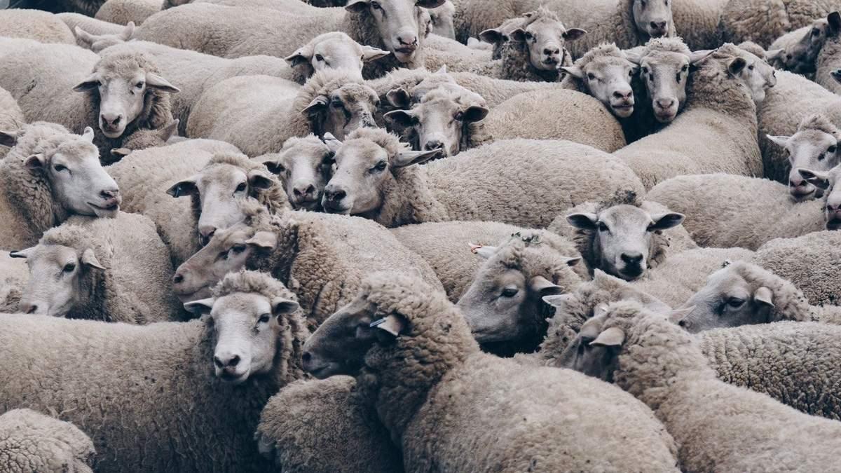 После эпопеи с овцами в порту в Одесской области существенно изменили правила перевозки животных