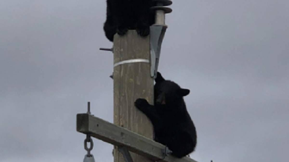 Медведь на электроопоре