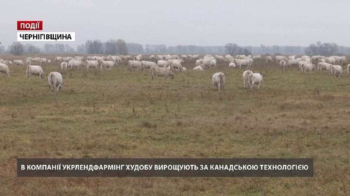 """В компании """"Укрлендфарминг"""" Бахматюка скот выращивают по канадской технологии"""