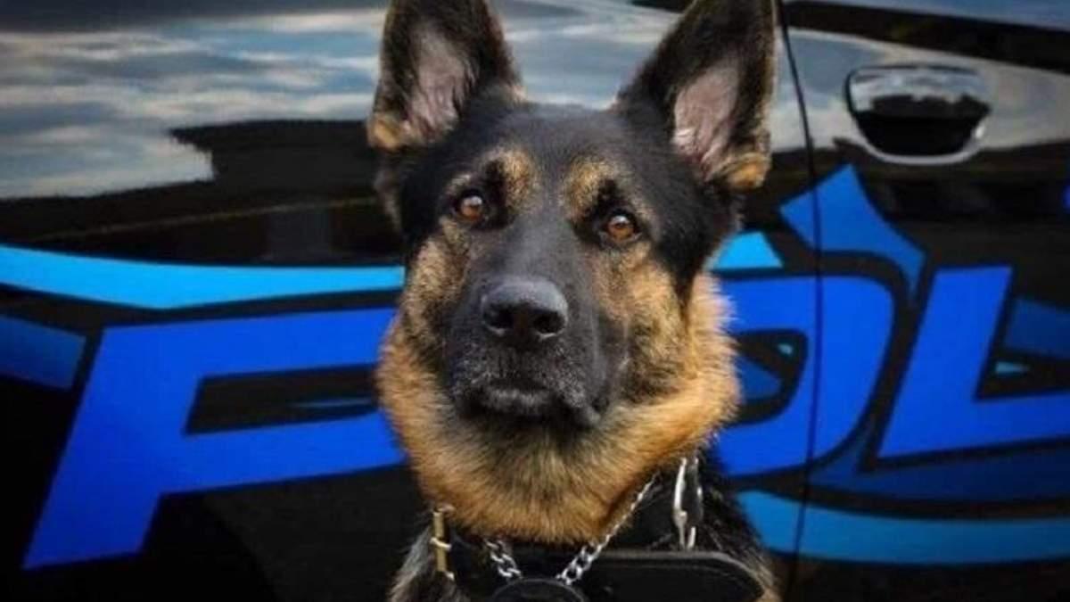 Поліцейський собака Акс